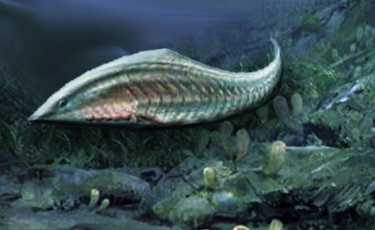 530 million year old Myllokunmingia may be the oldest vertebrate ever discovered.