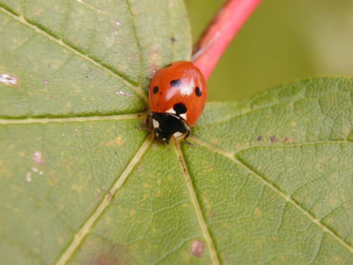 Ladybugs have quite a appetite. A single ladybug can eat 200 aphids a day. She is a welcome addition to your garden.