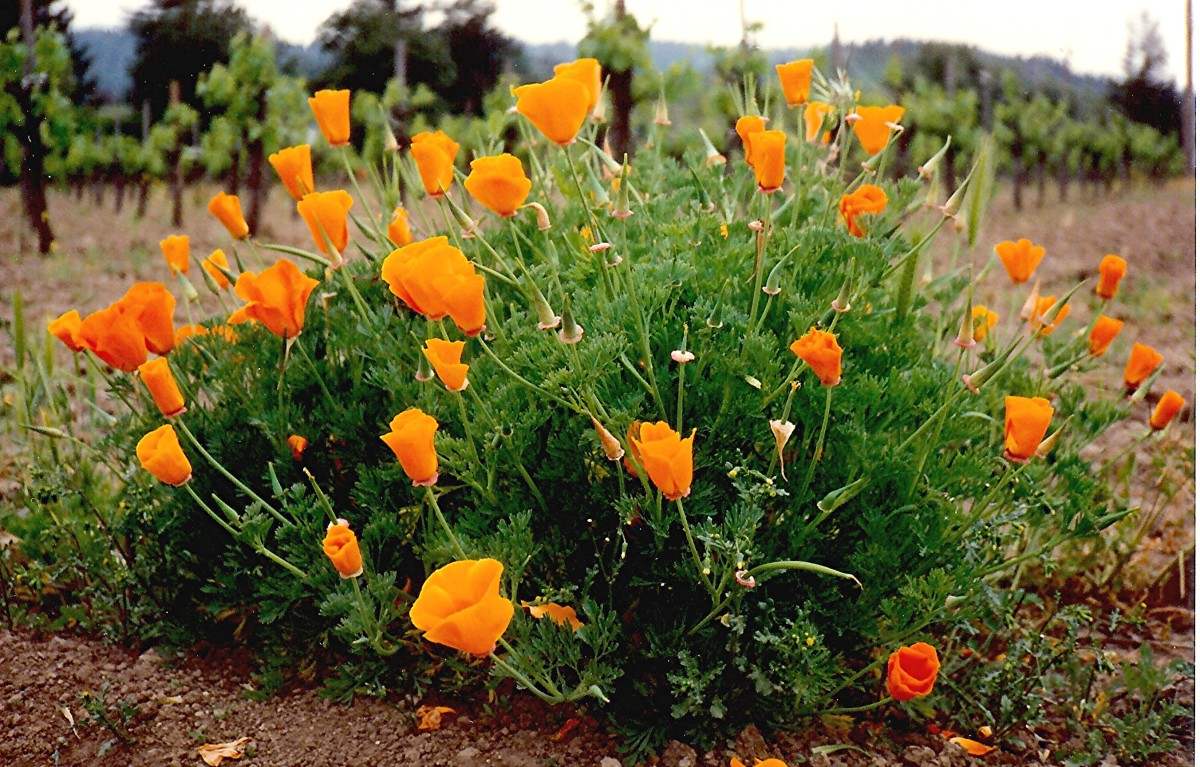 The California poppies were in full bloom! - Lillie Langtry's house