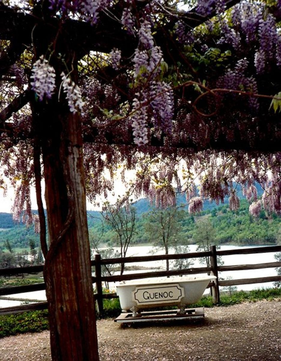 The wisteria was in full bloom at the Guenoc Winery.