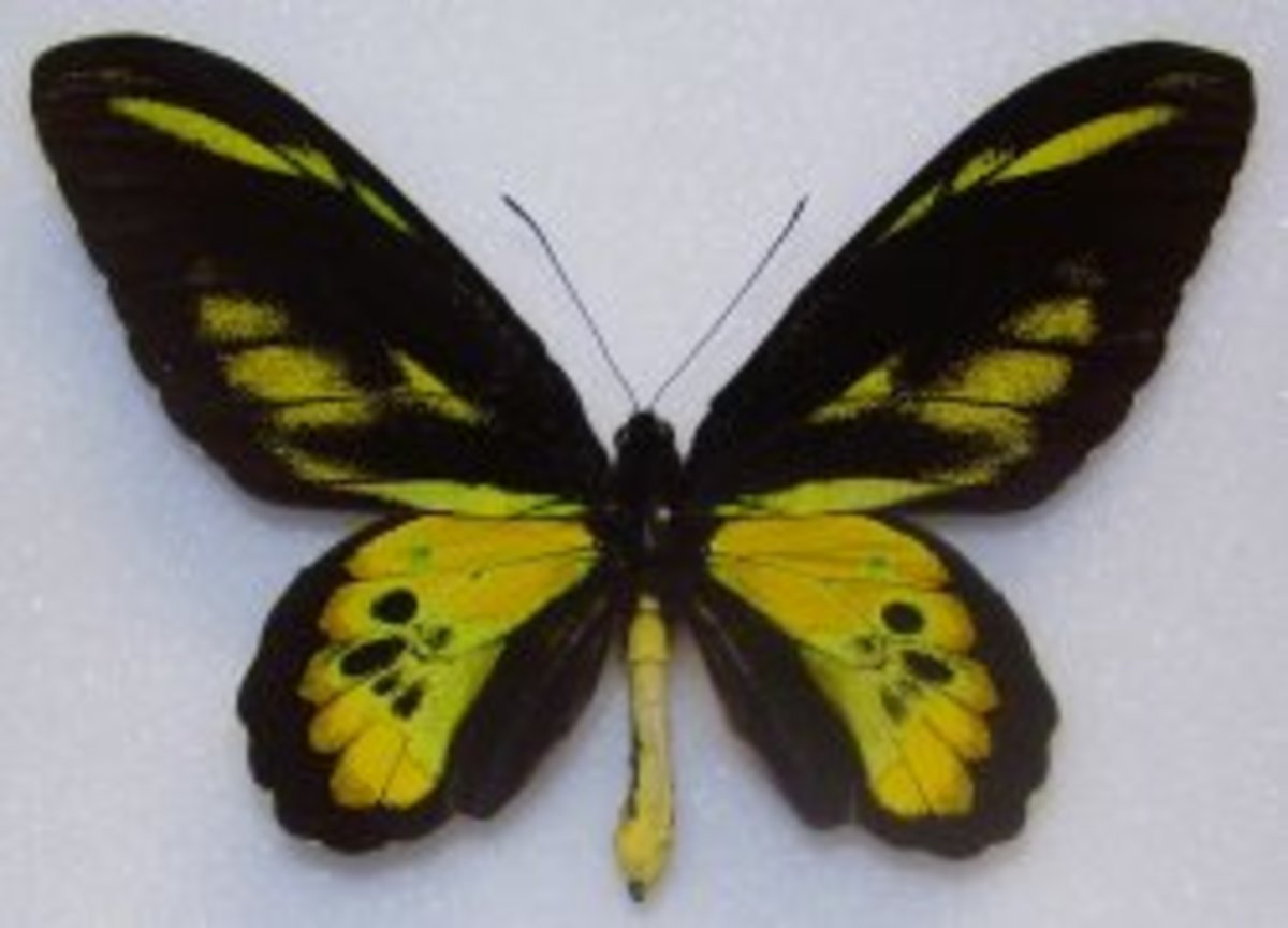 Rothschild's Birdwing