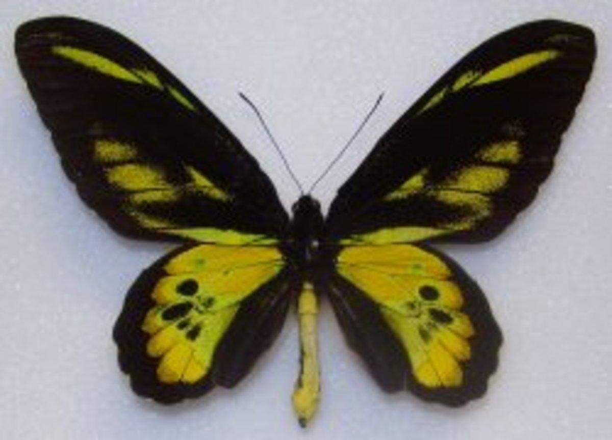 Rothschild's Birdwing