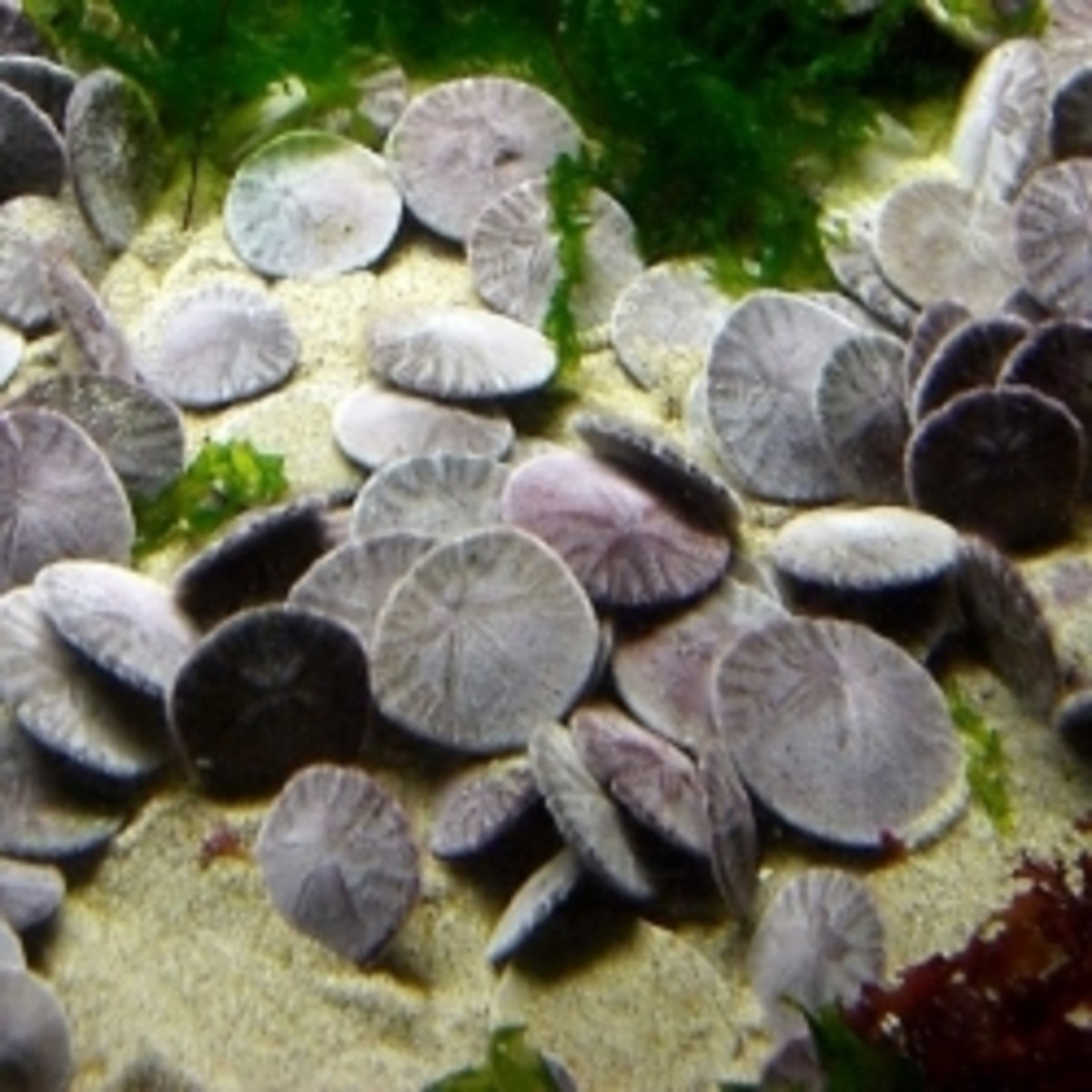 Live Sand Dollars in Costa Rica