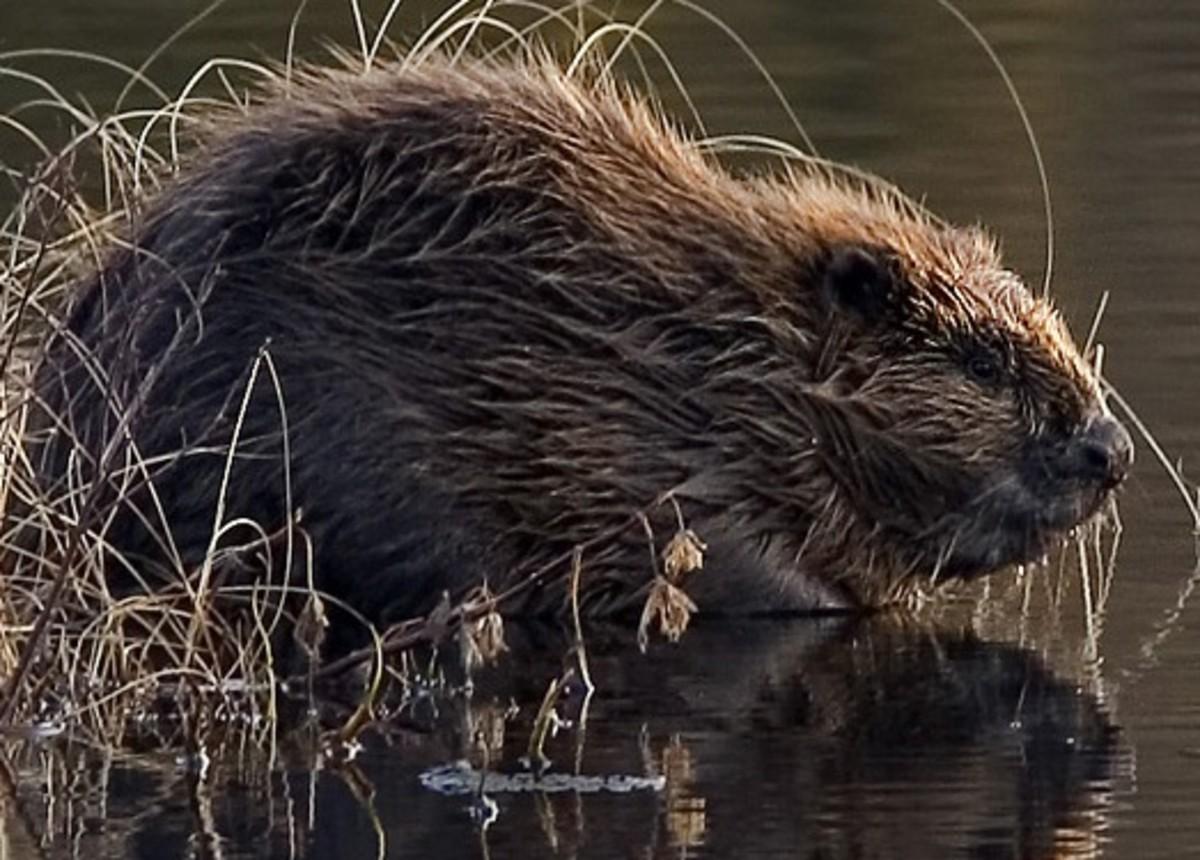 The beaver showing its waterproof fur