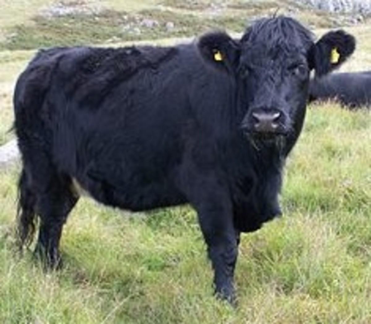Welsh Black