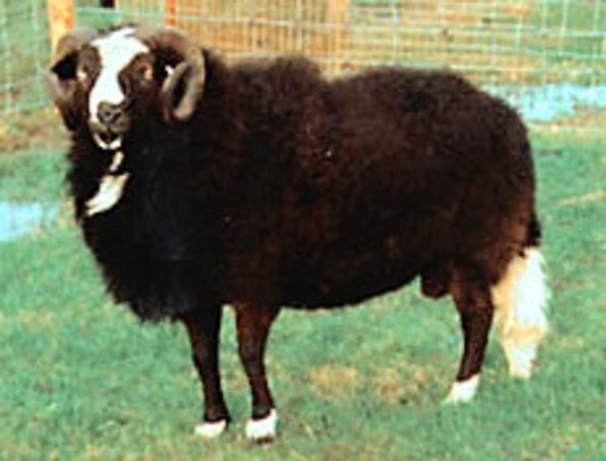 The striking Balwen Sheep