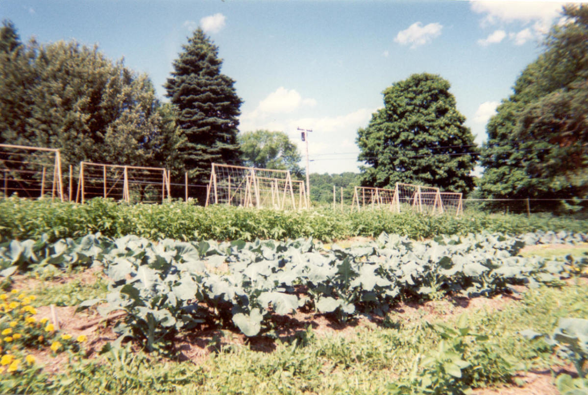 Cabbage and beans in our garden on Howland Homestead Farm