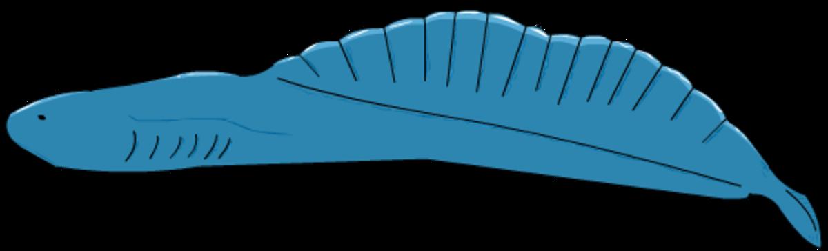 Chordate- a primitive fish