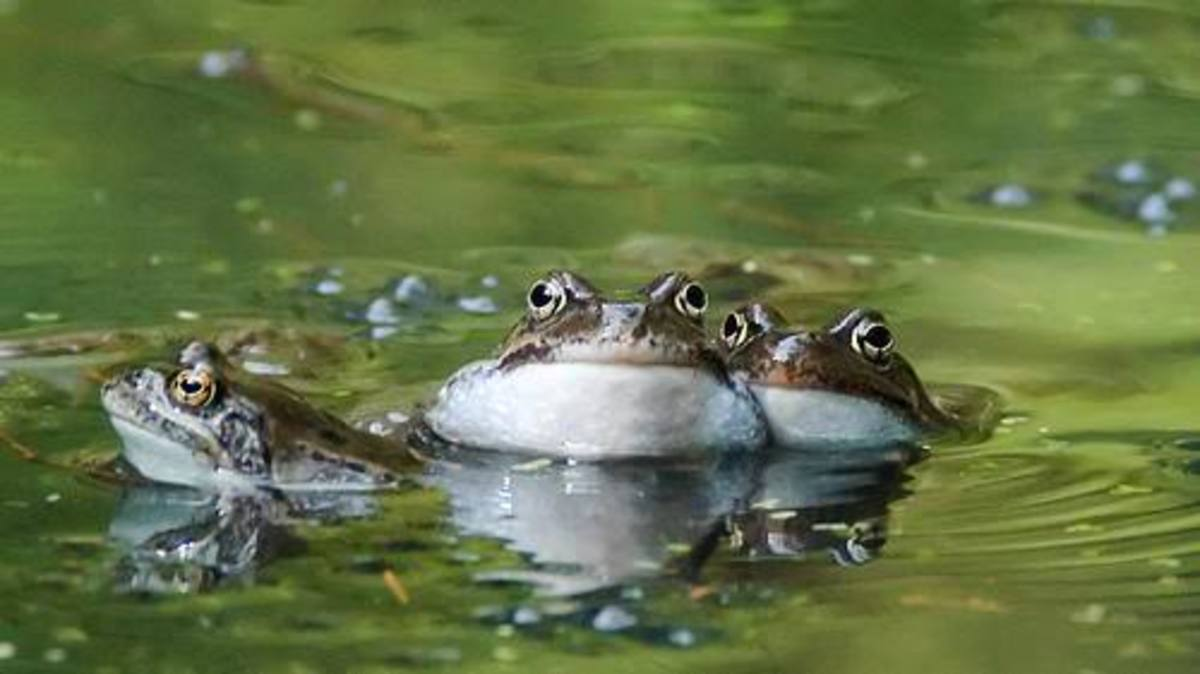 tadpoles-to-frogs