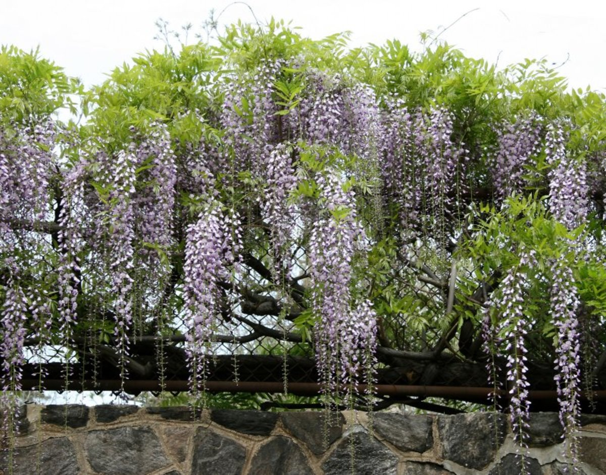Fully-grown Wisteria
