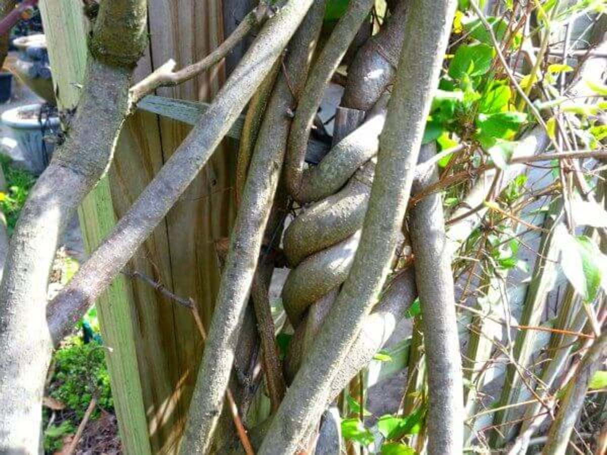 Wisteria stems are both strong and twining, so require a sturdy support system.