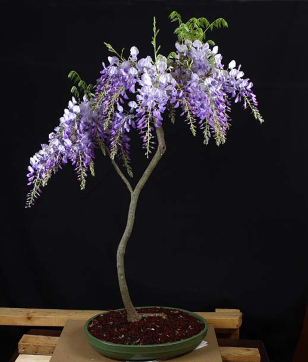 wisteria trained as a bonsai
