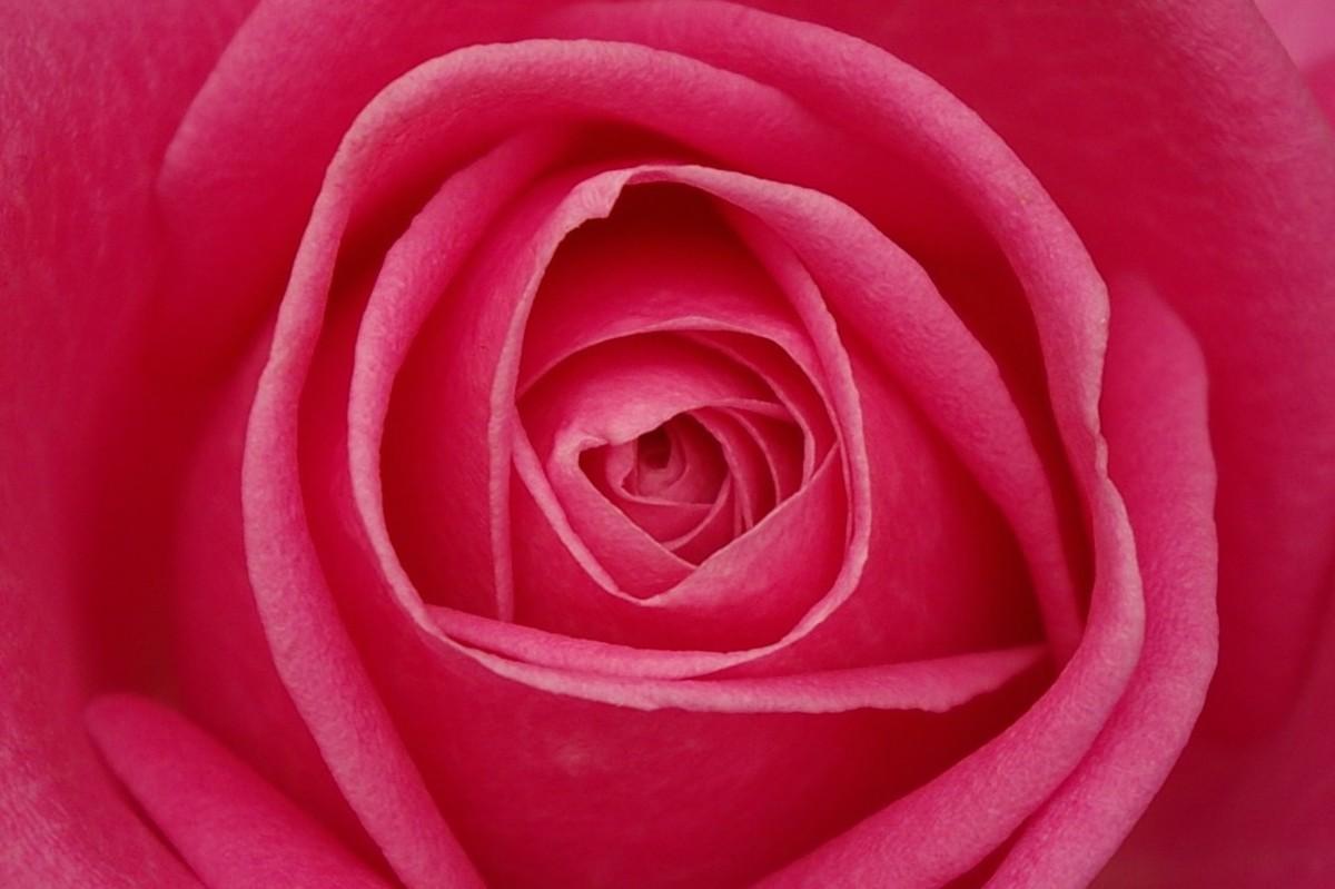 roses---abeginnersguidetoroses