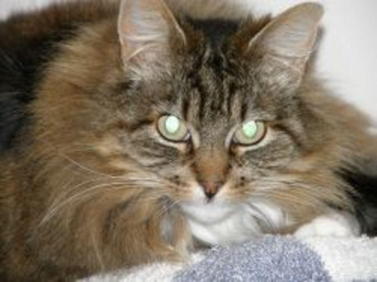 FIV Cat Princess