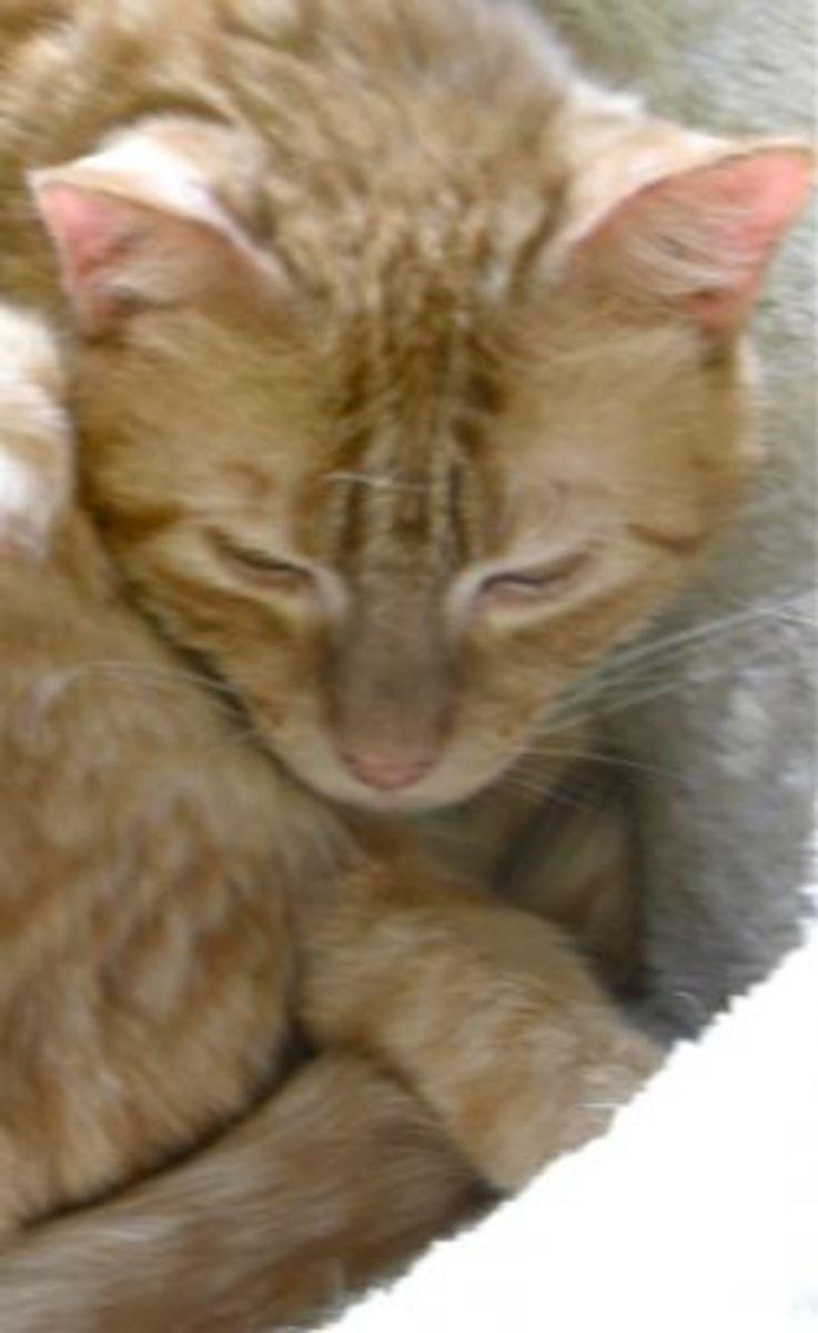 FIV Cat Tommy