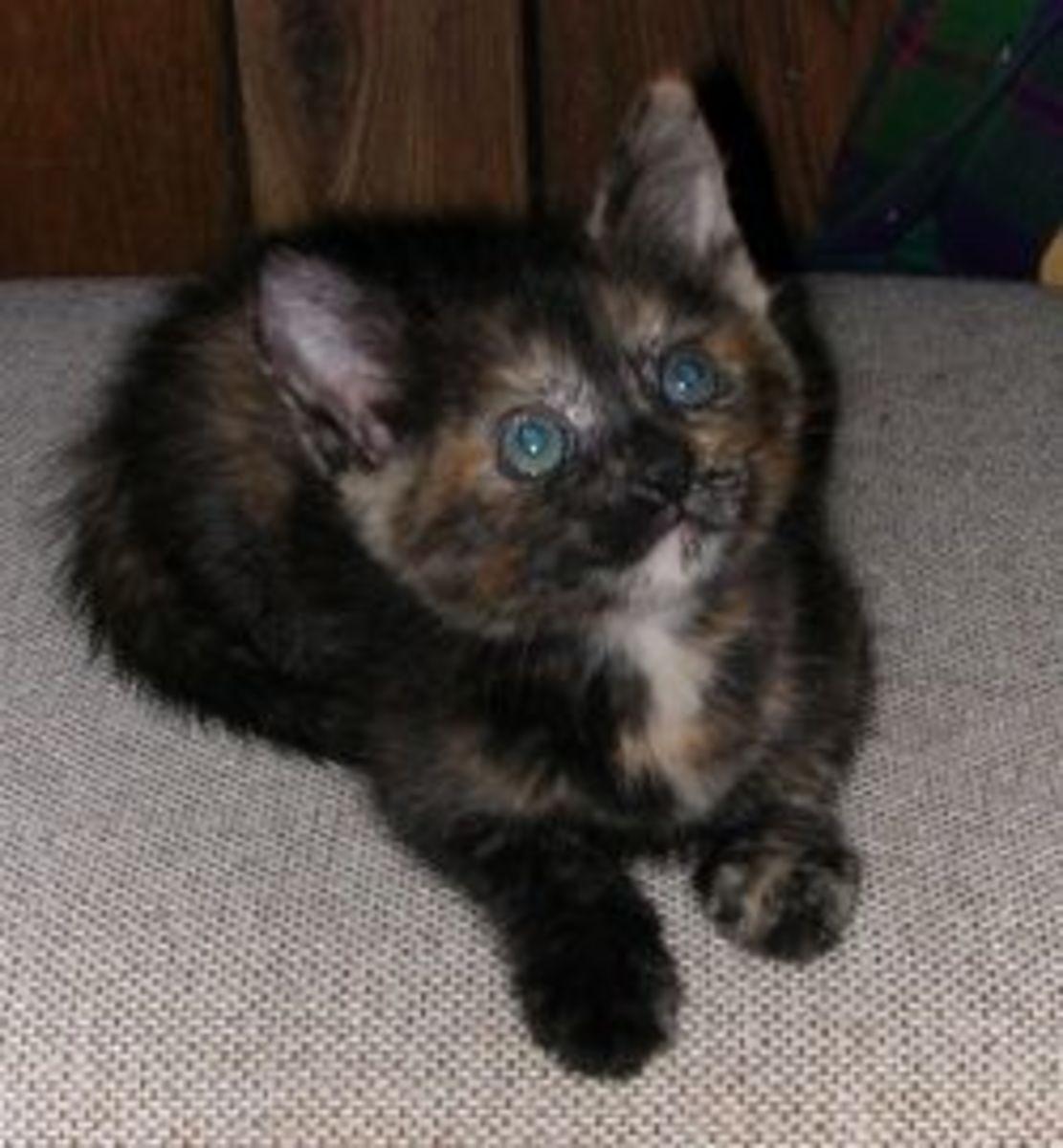 FIV kitten