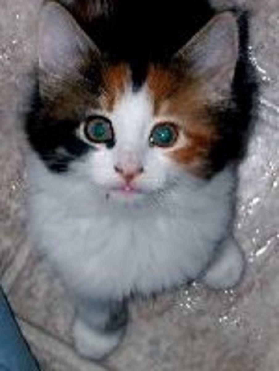 Kitten calico