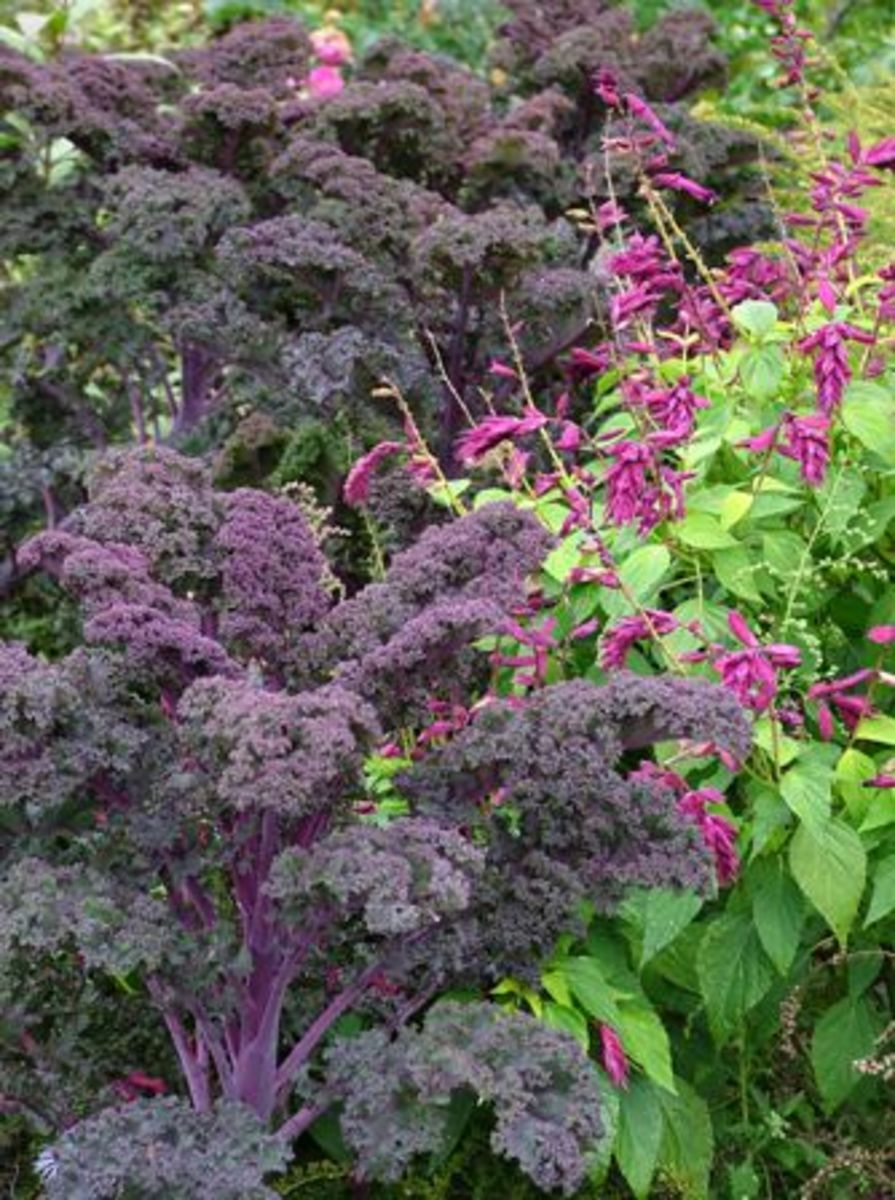 Gorgeous as a colorful foliage plant, kale will brighten your ornamental beds as well as your vegetable garden.