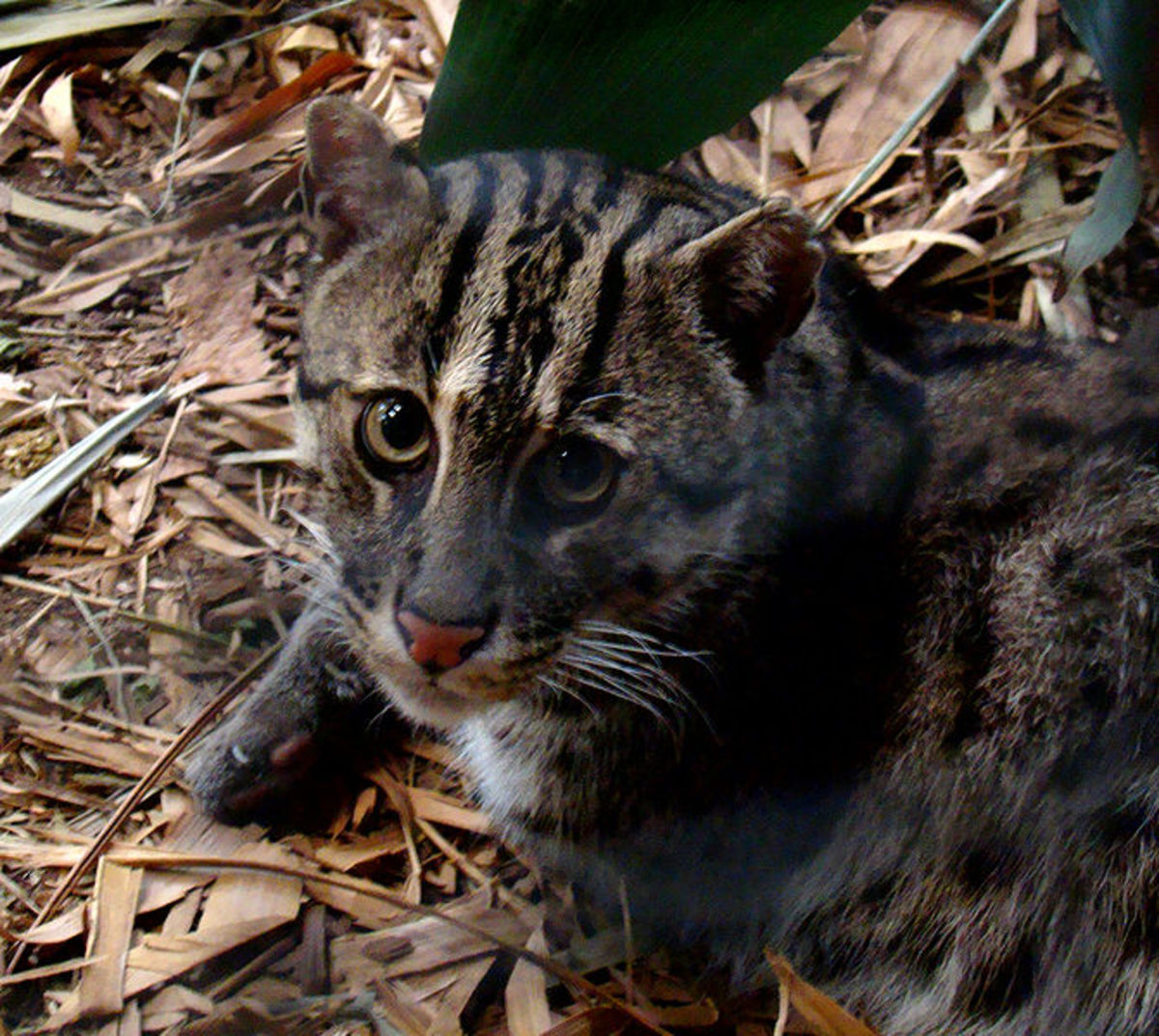 Fishing Cat [Asia]