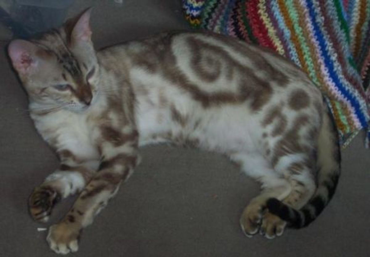 A Bengal displaying the classic tabby gene.