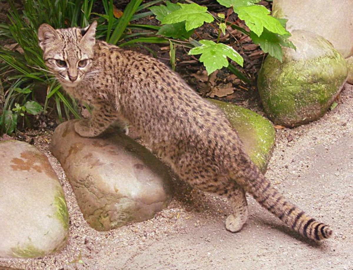A Geoffroy's Cat whose genes are currently finding their way into the pet population through hybridization. Hybrids are called Safari cats.
