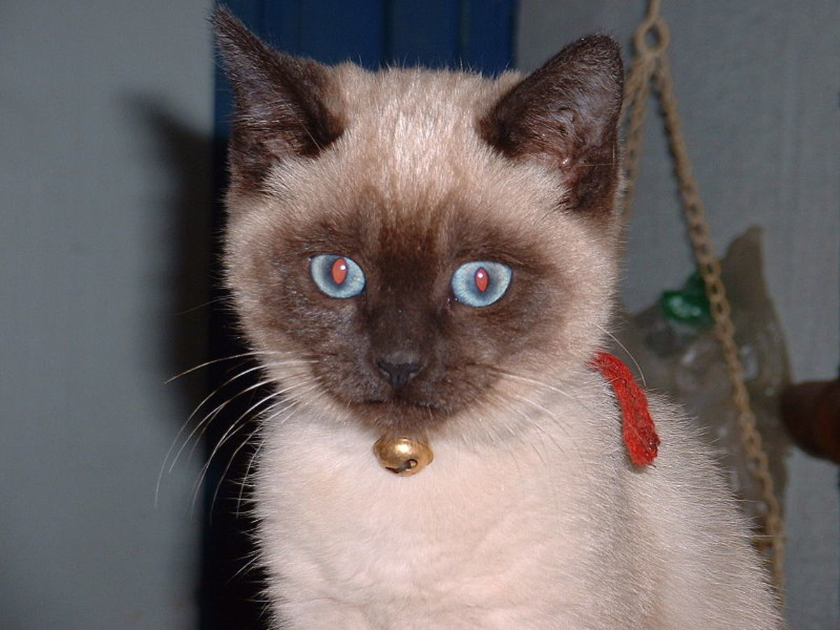 Siamese kitten (check out those blue eyes!)