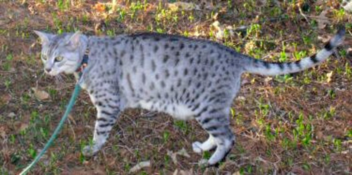 Egyptian Mau - displaying the spotted gene.