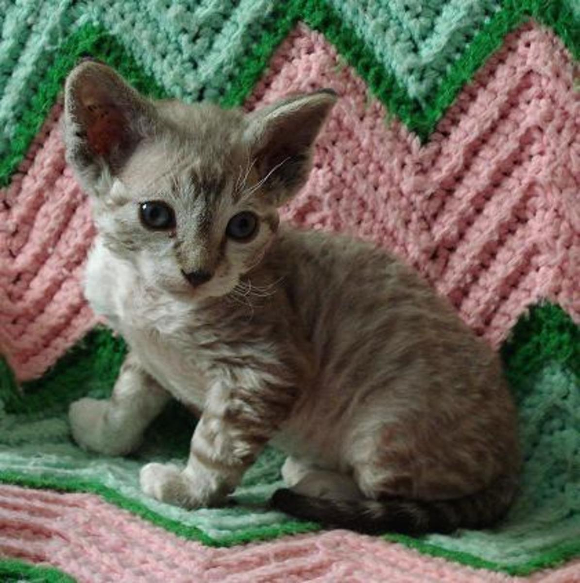 This is Skivvy, a Devon Rex, with a soft curly coat, yet another encouraged mutation.