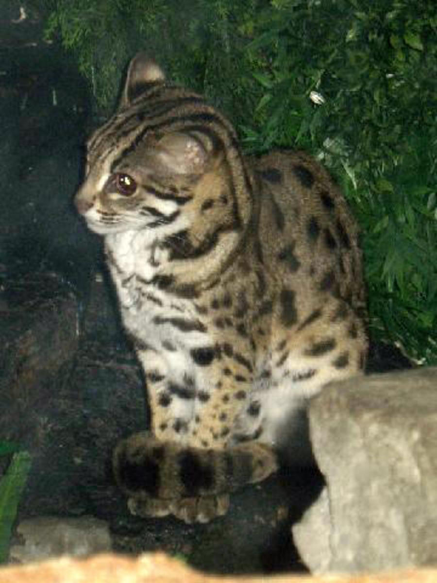 An Asian Leopard Cat (when bred to domestics the resulting hybrids are called Bengals.)
