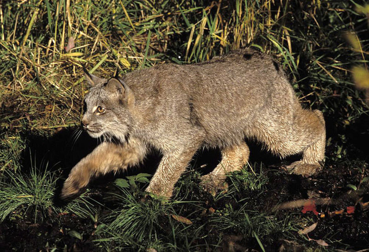 Lynx, native to Europe, Asia, and North America.