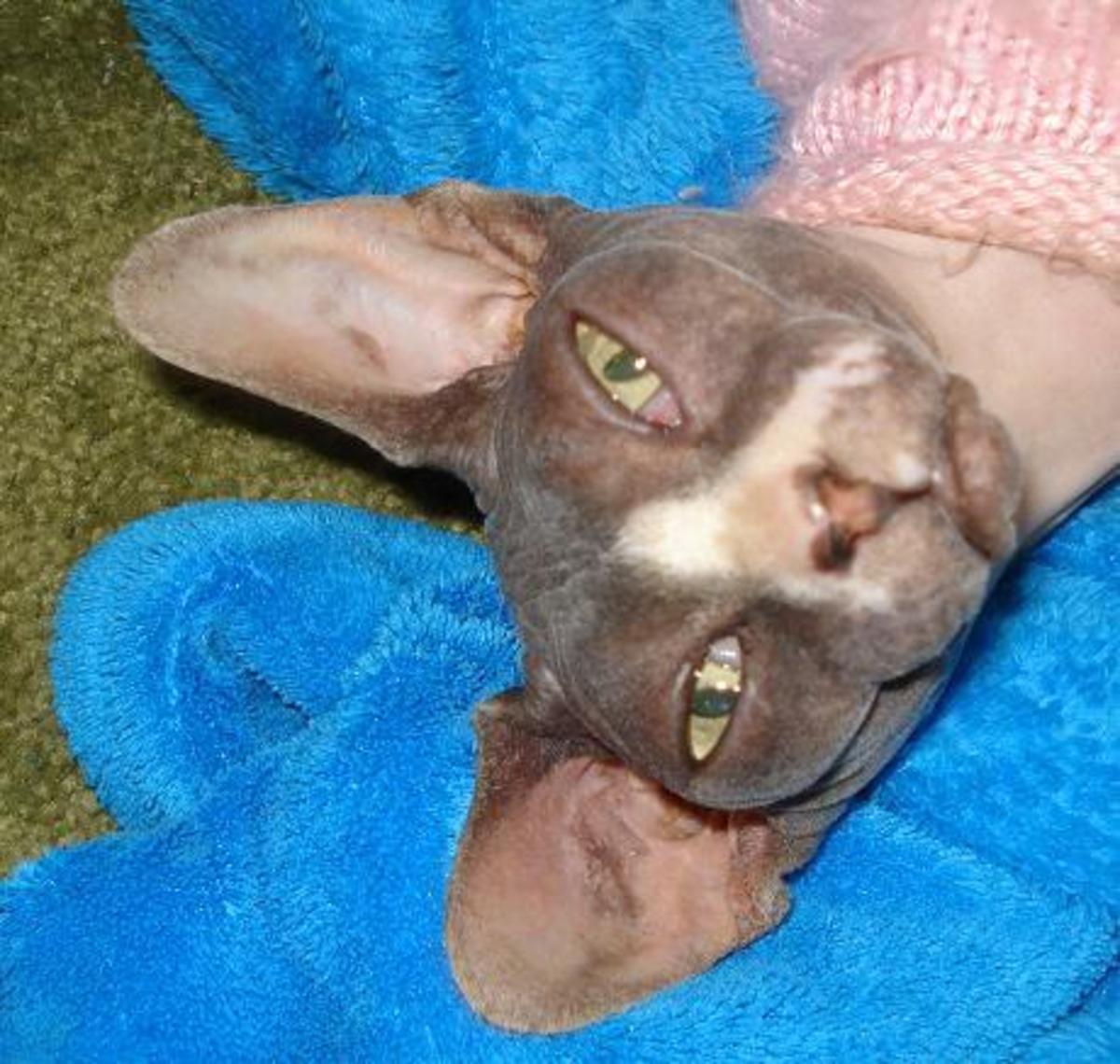 This is Sloopy a sphynx (or hairless) cat who shows the likely future of domestic cats... onward with new mutations!