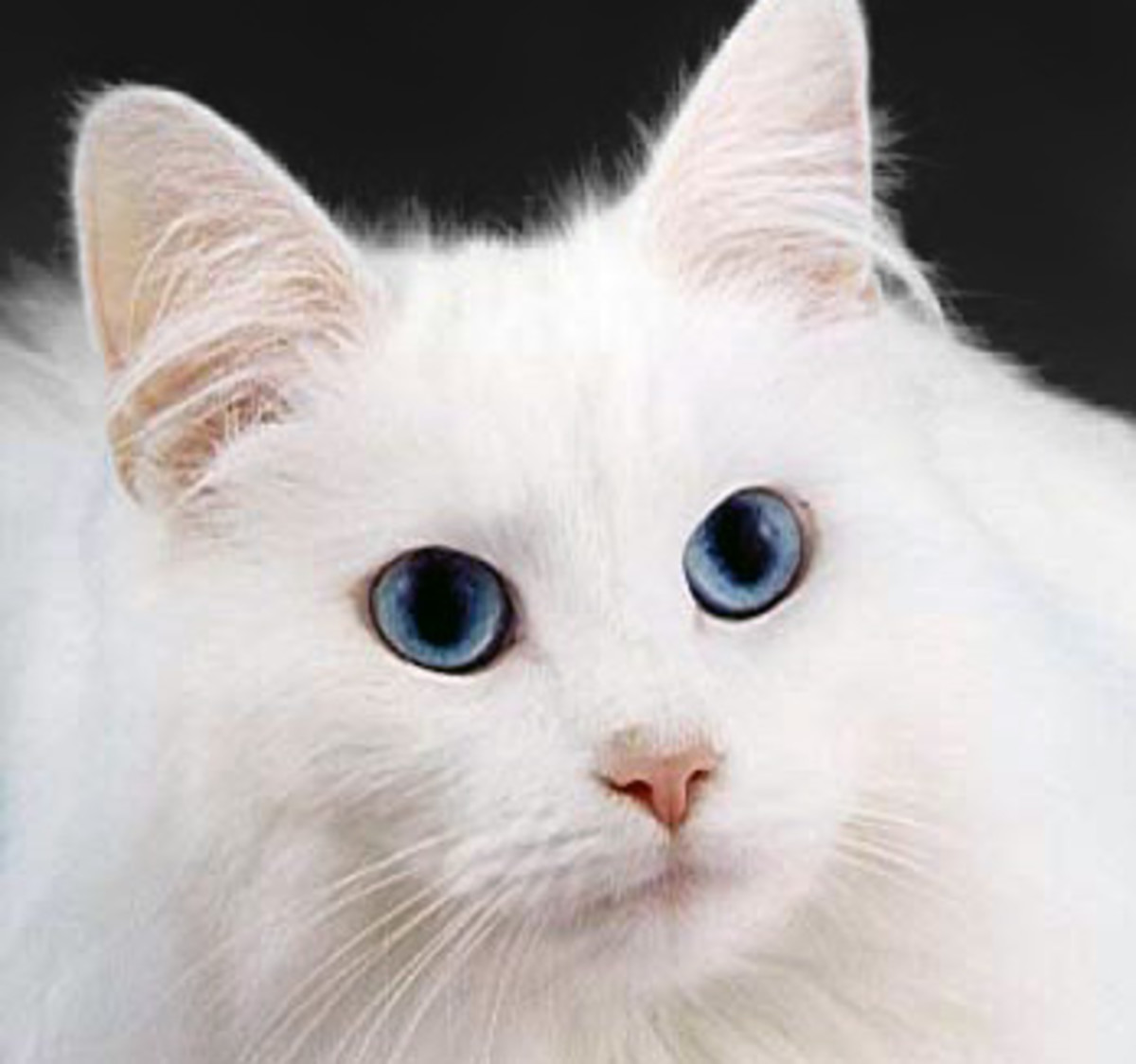 A blue-eyed white cat displaying a lesser albino gene.