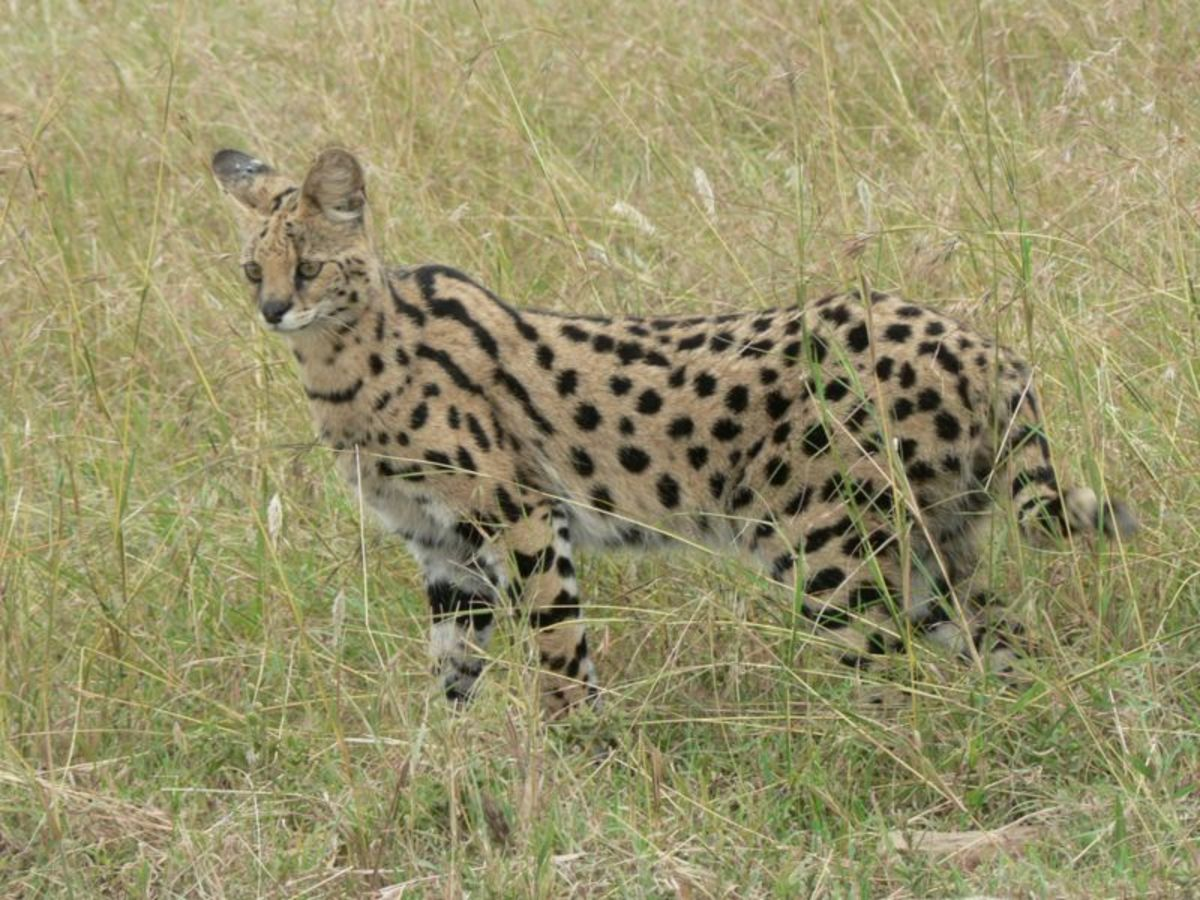 Serval: likely candidate for adding the spotting gene (as they were kept in Egyptian palaces.) Current hybrids are called Savanah cats.