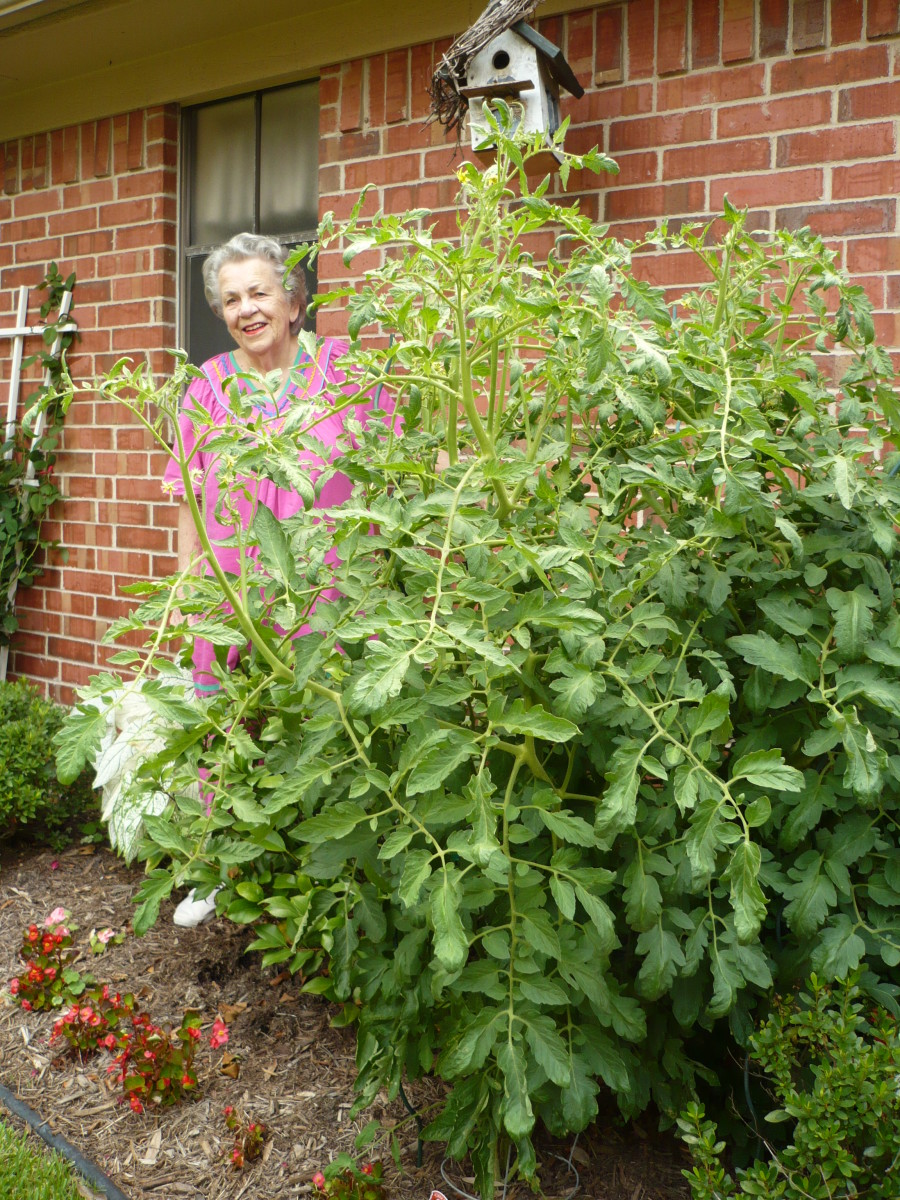 My mother is standing next to the gargantuan tomato plant giving some perspective as to the height and girth of this tomato plant.