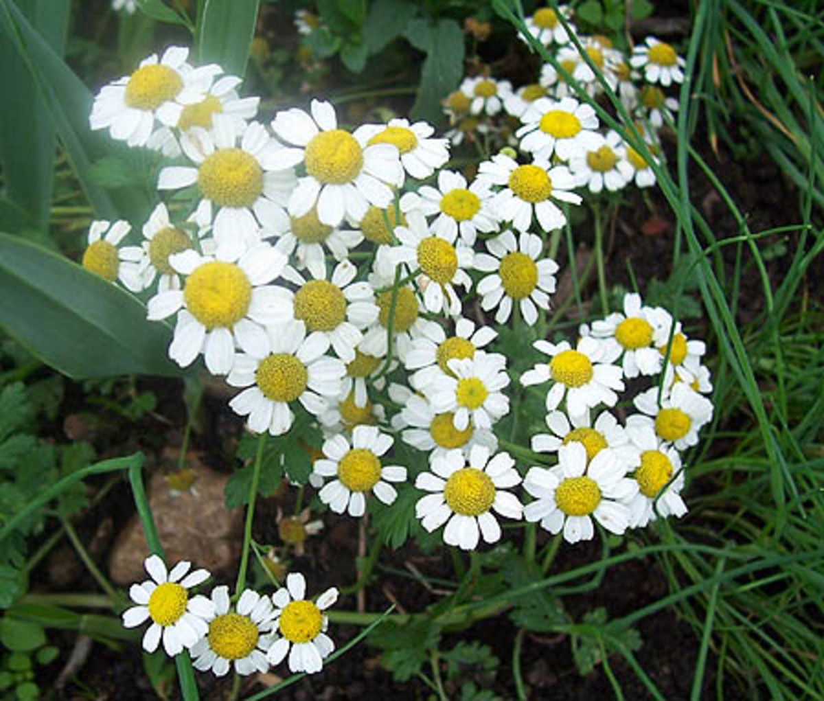 Chamomile is a safe, useful herb that you should keep in stock.