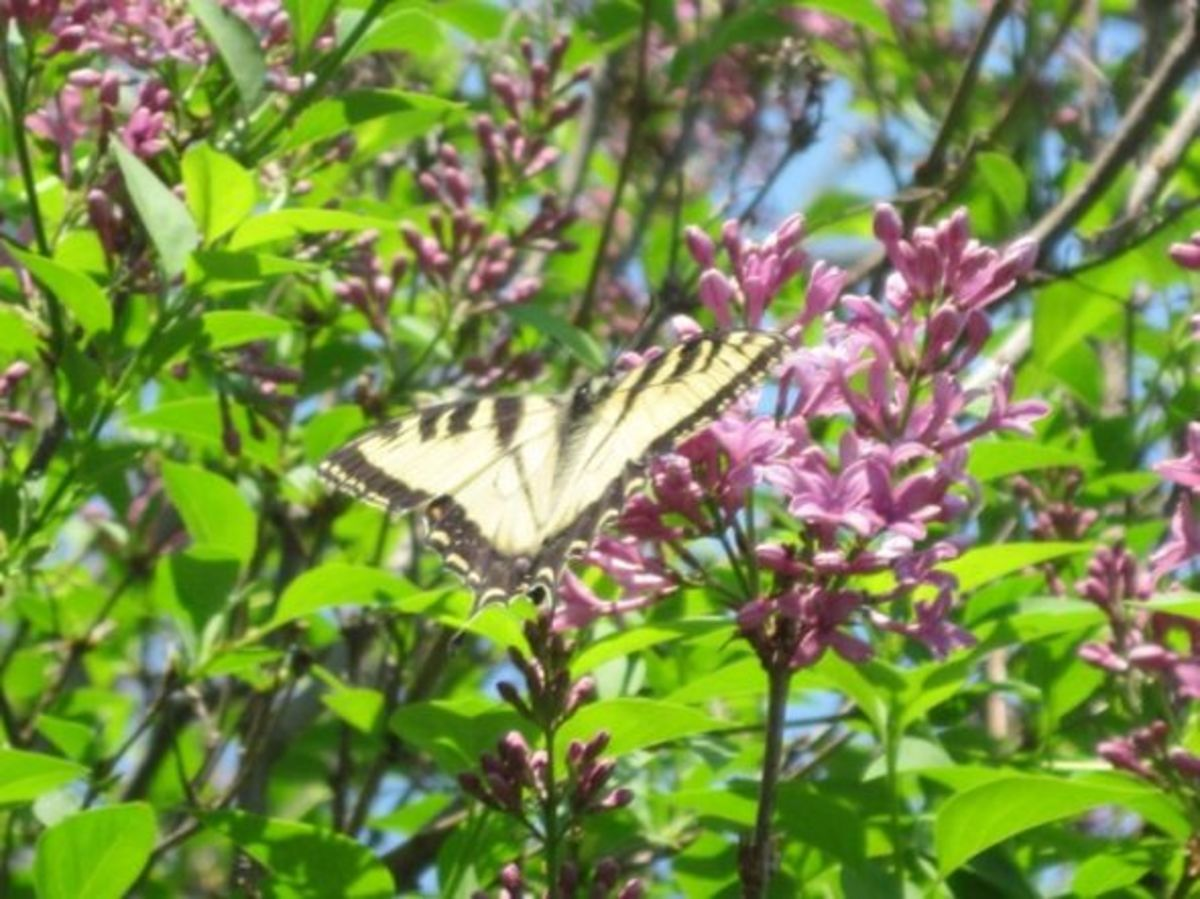 Swallowtail Butterfly on a Lilac Flower