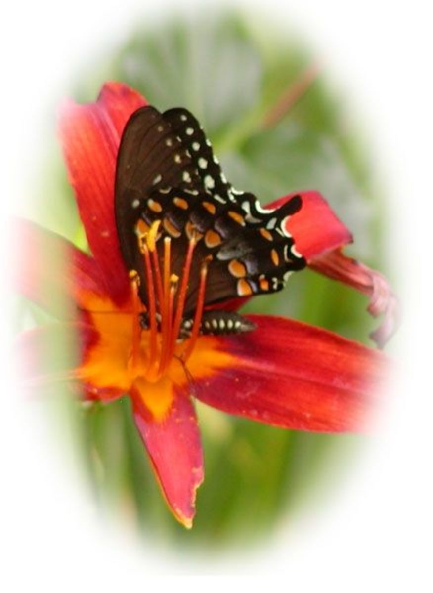Black butterfly on orange day lily