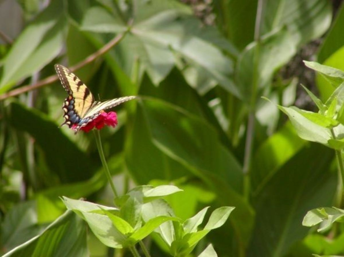 Butterly in garden on red flowers