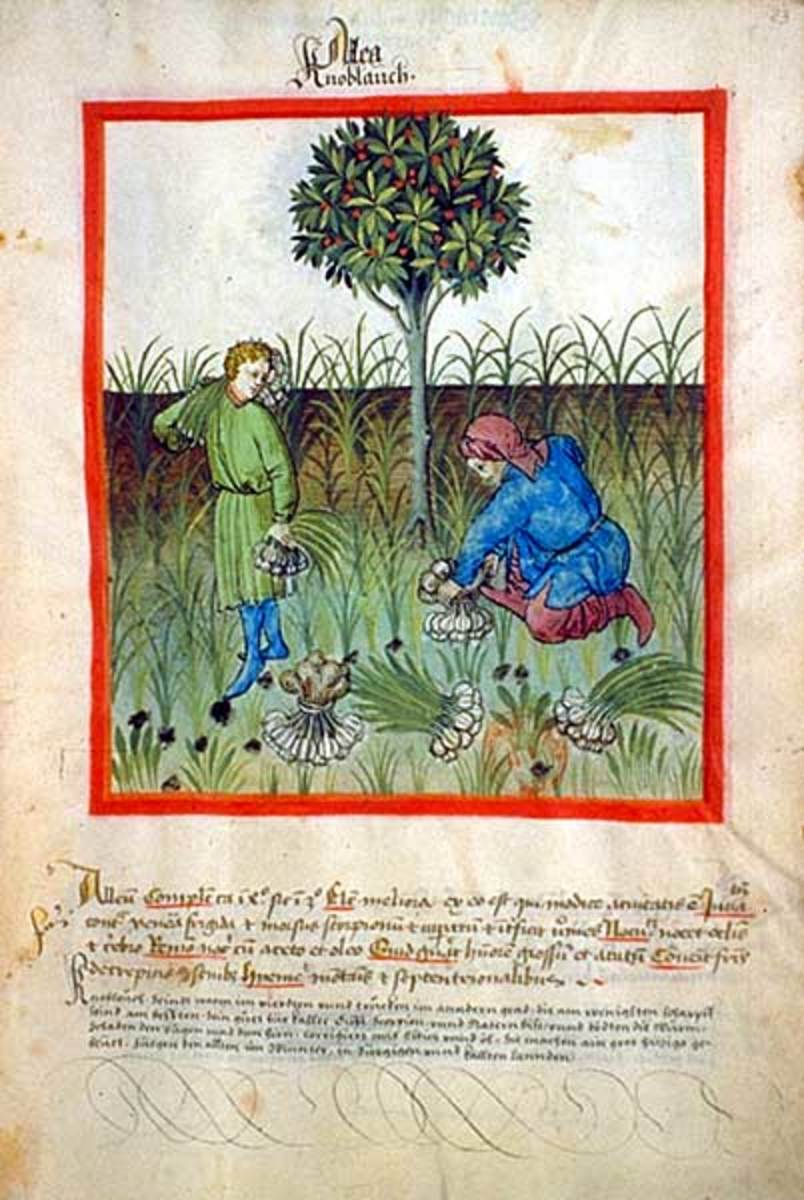 Old photo of men harvesting garlic