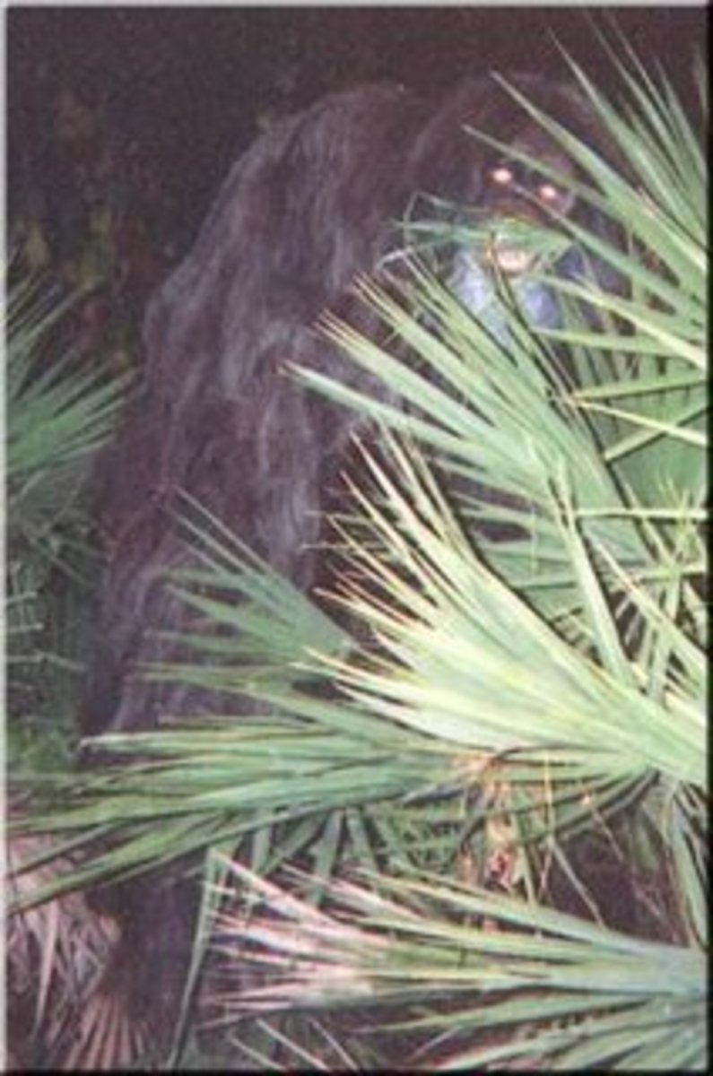 This is what the Big Foot or Swamp Ape looked like that attacked the two teenage boys on Saturday August 1.