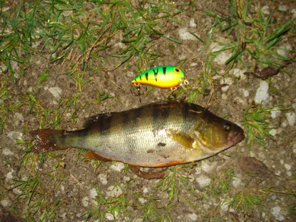 Perch that was caught with storm sub wart.