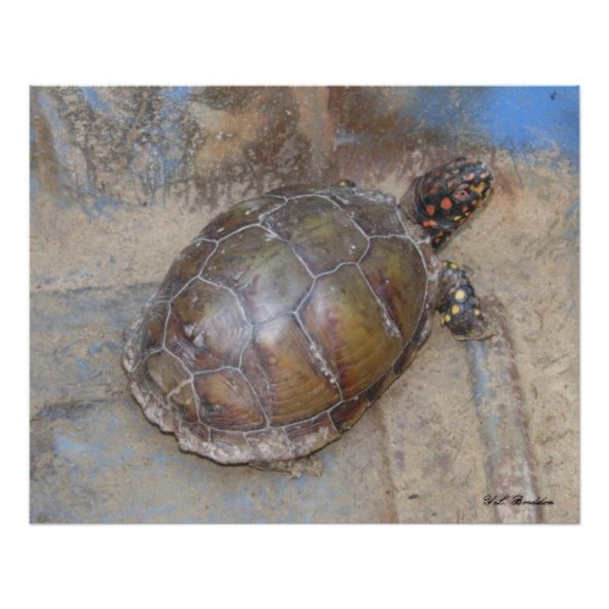 box-turtles-louisiana