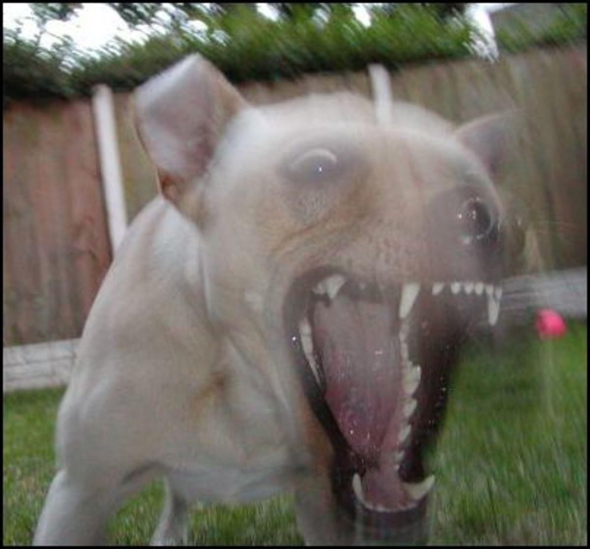 fodd protective dog