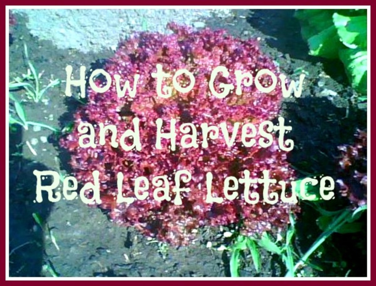Growing: How to Grow and When to Harvest Red Leaf Lettuce