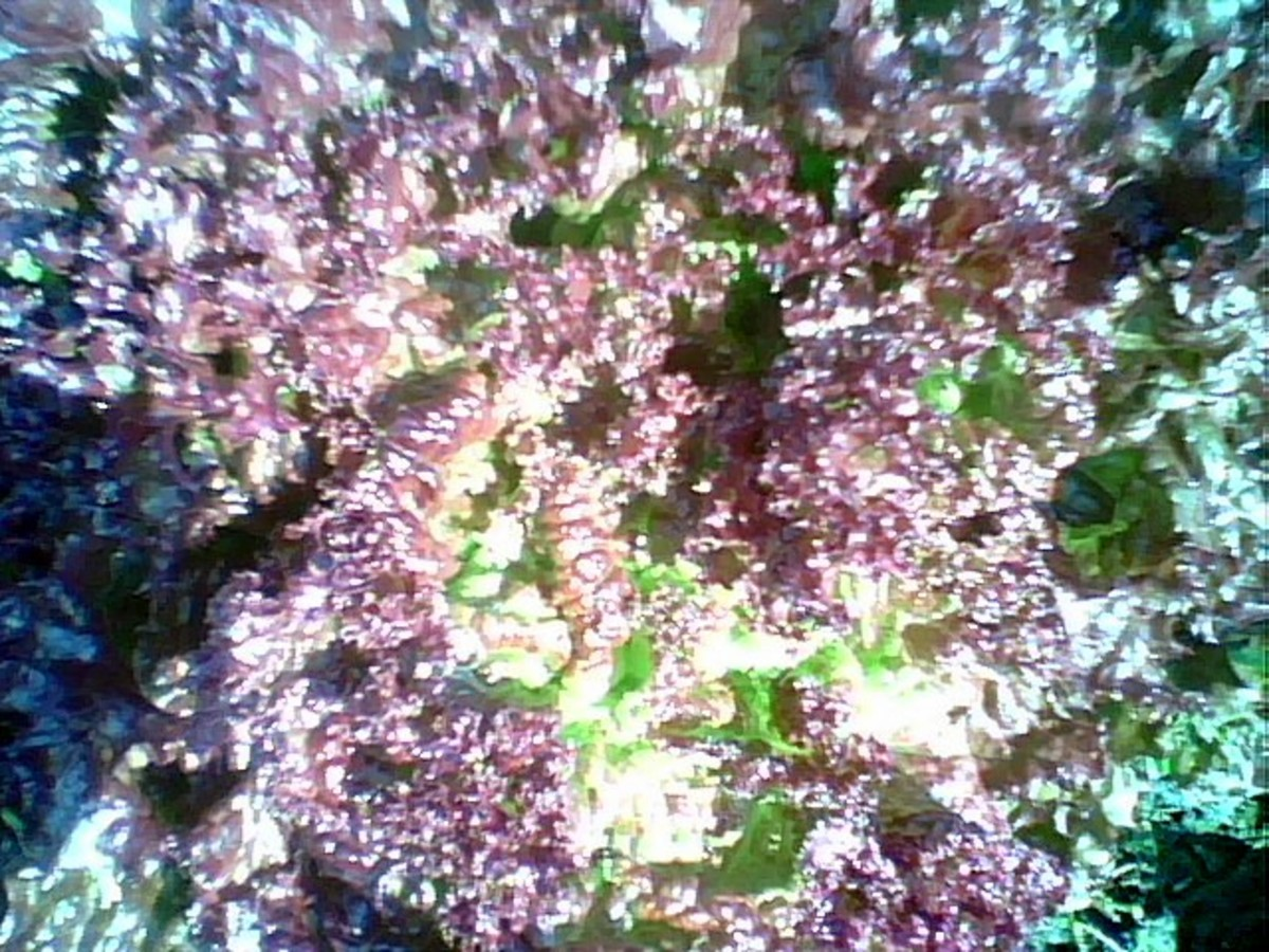 This is a photo of the Red Leaf Lettuce growing in our community garden plot in Hayward,Ca.
