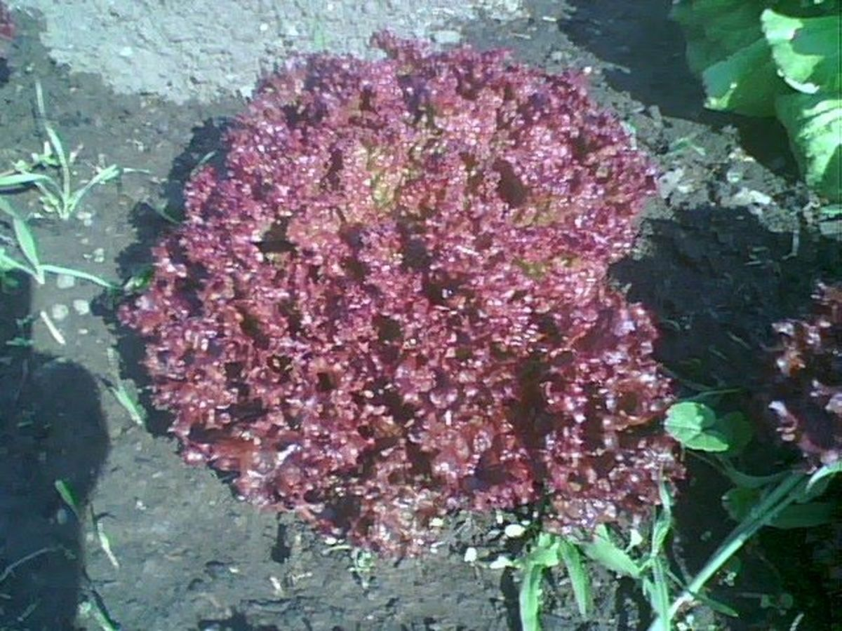 "The red leaf lettuce formed heads before they turned into a ""tree"""