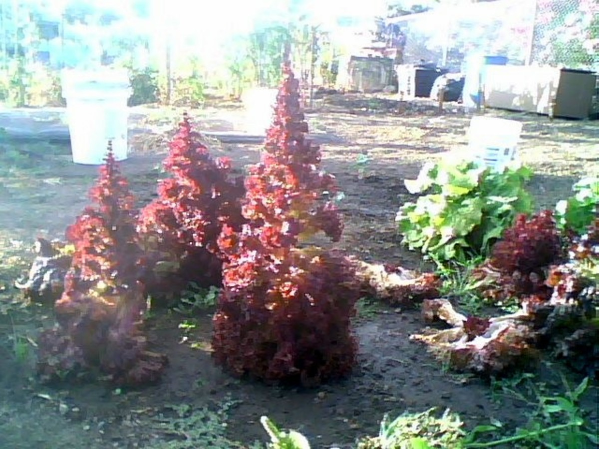 How about a different kind of Christmas tree this year? One made of a giant red leaf lettuce?You will be the envy of all your friends!