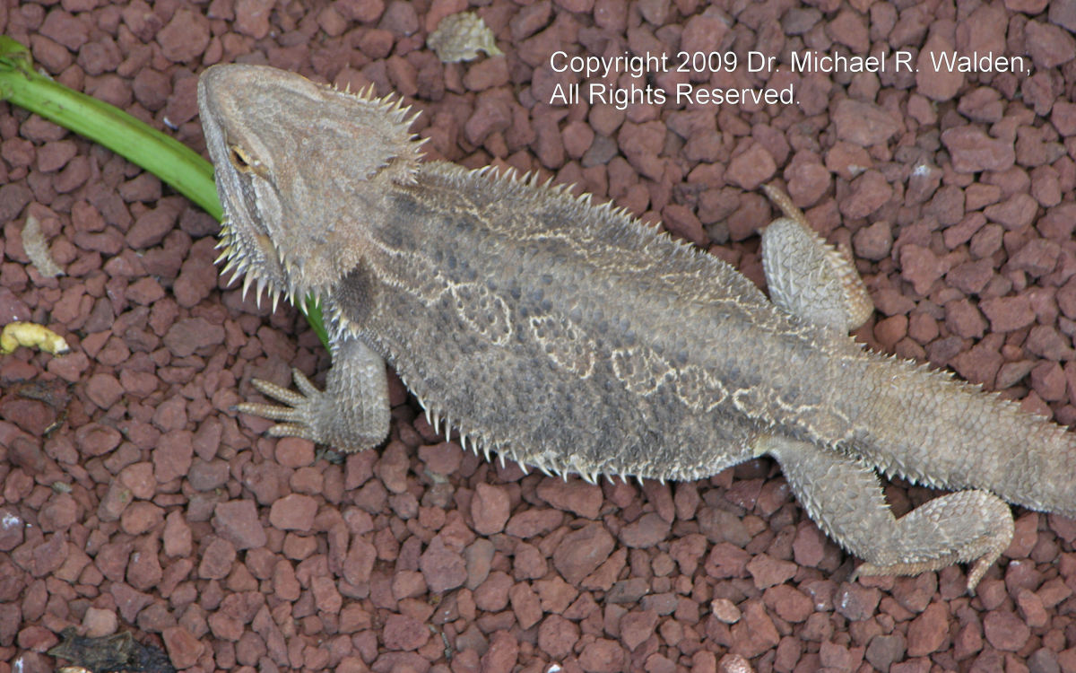 Bearded Dragon, Pogona vitticeps. Used with permission.  Copyright Michael R. Walden, 2009.