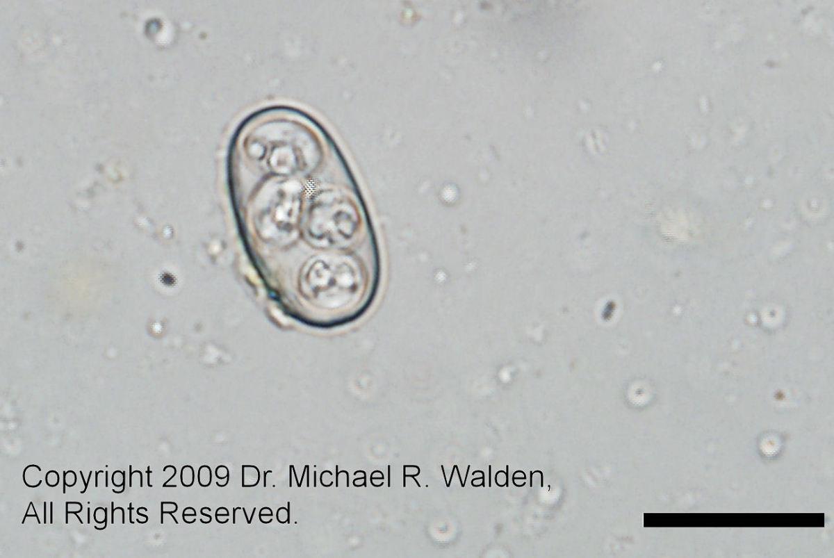 Eimeria pogonae oocyst.  Bar = 20 microns. 600x  Used with permission