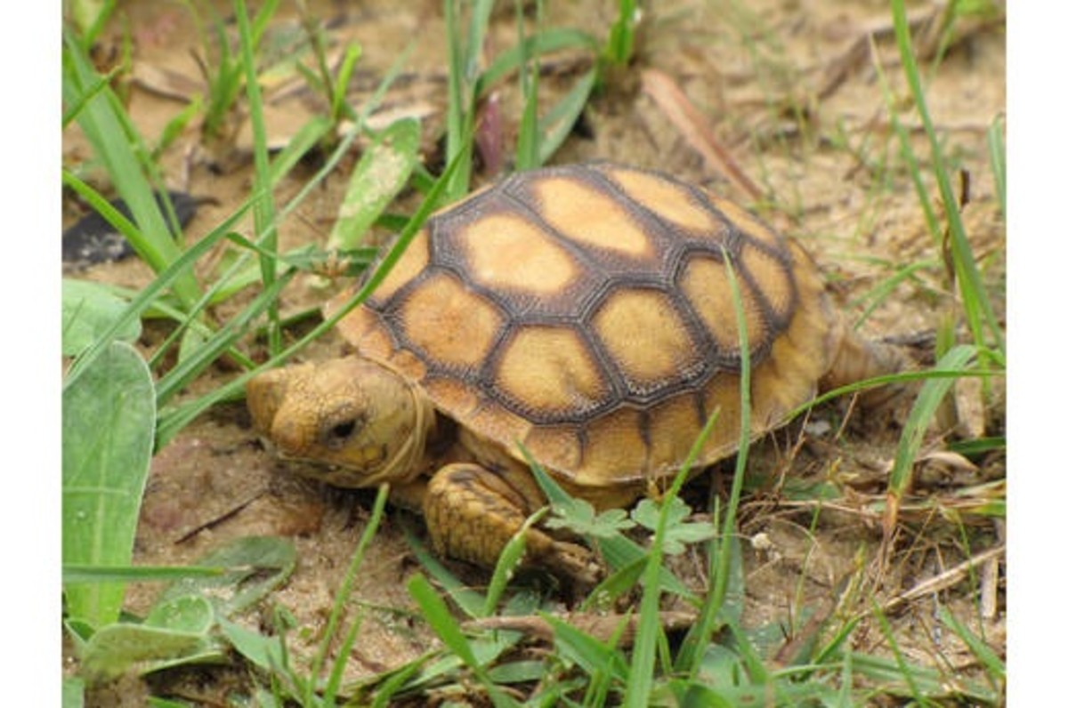 The young tortoises can dig soon after hatching.